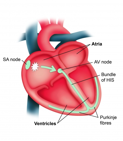 About af heartbeat diagram ccuart Image collections